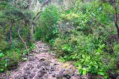 Trail over solidified lava on the in Rangitoto New Zealand. In the midst of thick foliage stock images