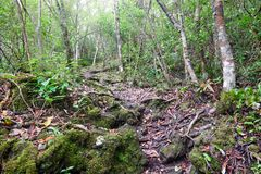 Trail over solidified lava on the in Rangitoto New Zealand. In the midst of thick foliage stock photography