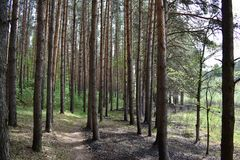 Trail path in the coniferous forest pine forest spring early summer. Spring is a time of hope. And summer is a time of happiness. Summer as if specially stock photo