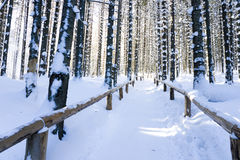 Trail in pine forest Stock Image
