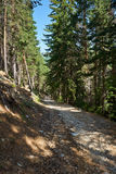 Trail in pine forest Royalty Free Stock Photo