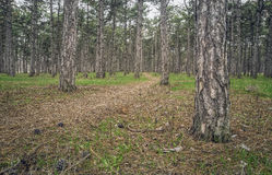 Trail in the pine forest on a cloudy day/ Royalty Free Stock Images