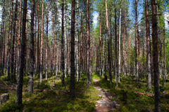Trail in the pine forest Stock Images