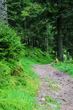 The trail in a pine forest Stock Image