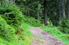 The trail in a pine forest Royalty Free Stock Photography
