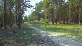 Trail In The Pine Forest. Path dirt road sand coniferous forest pine trees summer stock video