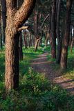 Trail in the pine forest Royalty Free Stock Photos