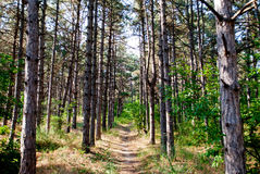 A trail in a pine forest the trees go into the distance on a summer day against the sky Stock Photography