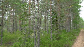 Trail of pine trees in the forest of Estonia GH4 4K UHD. Trail of pine trees in the forest of Estonia. Lots of pine trees with a pathway in between the pines in stock footage