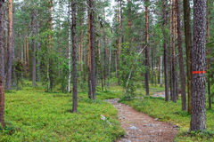 The trail through the pine trees in Muddus National Park, Lapland Sweden Royalty Free Stock Photo