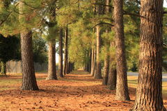 A Trail of Pines Royalty Free Stock Photos