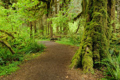 Trail in rain forest. Hiking trail in hoh rain forest in olympic national park, washington, usa Stock Photo