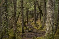 Trail through rainforest. Trail going through a wet damp forest in Alaska Stock Images