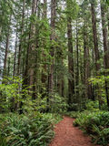 Trail through the Redwoods Royalty Free Stock Photo