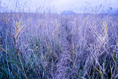 Trail in the reeds royalty free stock photo