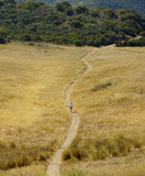 Trail runner in yellow field. Boney Mountain Trail Run in summer Royalty Free Stock Photography