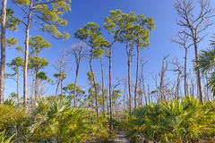 Trail through Slash pines in the Tropics Stock Image