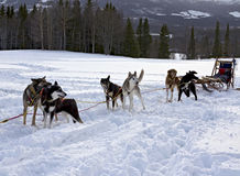 Sled dog racing Royalty Free Stock Image
