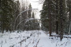 The trail in snowy spruce forest stock images