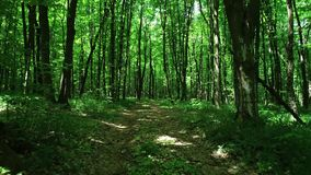 Trail in spring forest. Summer background stock video