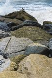 The rough sea does not scare the animals. On a trail of stacked rocks stood a bird perched on the rough sea Stock Images