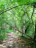 Trail in the summer woods Stock Photography