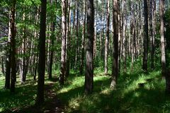 Trail in the taiga pine forest the beauty of the primeval forest can not leave anyone indifferent. Trail in the taiga pine forest. The beauty of the primeval royalty free stock photo