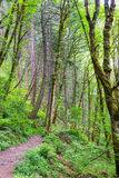 Trail and Tall Trees Royalty Free Stock Image