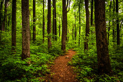 Trail through tall trees in a lush forest, Shenandoah National Park stock photos