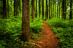 Trail through tall trees in a lush forest, Shenandoah National Park. Virginia Royalty Free Stock Photography