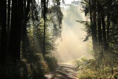 Free Trail Through A Misty Autumn Forest At Dawn Path Coniferous Sunrise Morning Fog Surrounds The Pine Trees Lit By Rays Of Sun Sunny Stock Photo - 139366090