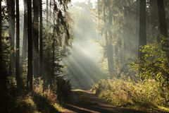 Free Trail Through A Misty Autumn Forest At Dawn Path Through A Coniferous Forest At Sunrise Morning Fog Surrounds The Pine Trees Lit Royalty Free Stock Images - 139300199