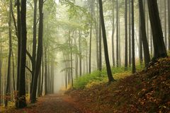 Free Trail Through The Misty Autumn Deciduous Forest Path Through An Autumn Deciduous Forest With The Most Of Beech Trees Covered With Royalty Free Stock Images - 139072879