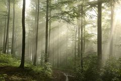 Free Trail Through The Spring Deciduous Forest In Foggy Weather Green Leaves On Branches Of Beech Trees Backlit By Morning Sun Dense Royalty Free Stock Images - 139560889
