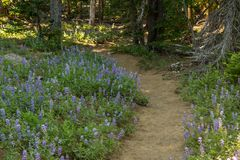 Trail Winds Through Field of Lupine Stock Photography