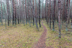 Trail in the winter pine tree forest Stock Photo