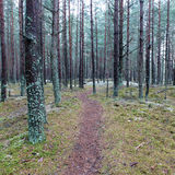 Trail in the winter pine tree forest Stock Photography