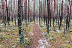 Trail in the winter pine tree forest Royalty Free Stock Photo