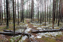 Trail in the winter pine tree forest Stock Photos