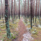 Trail in the winter pine tree forest Royalty Free Stock Image