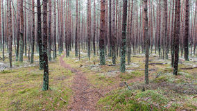 Trail in the winter pine tree forest Royalty Free Stock Images