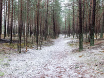 Trail in the winter pine tree forest Royalty Free Stock Photography