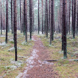 Trail in the winter pine tree forest Stock Image