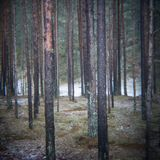 Trail in the winter pine tree forest. Trail in the pine tree forest in winter with frost - retro vintage effect. soft focus Royalty Free Stock Photo