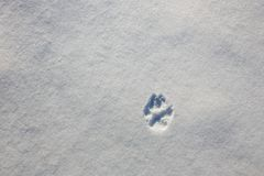 Trail of a wolf`s paw on the snow in winter stock photo