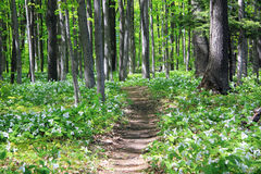 Trail through the woods. A lush trillium lined trail through the woods in Northwest Michigan Stock Images