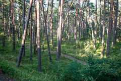 Trail in the woods near sea in the dunes Royalty Free Stock Photos