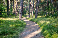 Trail in the woods near sea in the dunes. Forest Stock Photography