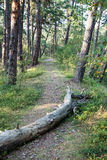 Trail in the woods near sea in the dunes. Forest Stock Photos