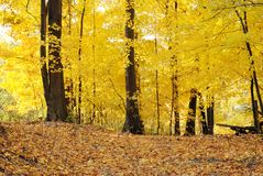 Trail through yellow autumn trees Royalty Free Stock Photo